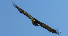 White tailed Eagle (Wild) - Face-to-Face with the ultimate (Ann and Chris) Tags: avian amazing awesome bird beak beautiful close eagle whitetailedeagle flying gliding impressive incredible incoming majestic phenomena raptor stunning unbelievable wildlife wild wings