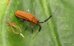 Longhorn Beetle, Malacoscylus gratiosus? Cerambycidae (Ecuador Megadiverso) Tags: andreaskay beetle cerambycidae coleoptera ecuador longhornbeetle malacoscylusgratiosus
