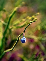 Be a Good One (barbara_donders) Tags: natuur nature winter frozen bevroren berry bes macro bokeh mooi prachtig 1 magisch magical beautiful