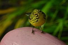 Just A Quick Look (ACEZandEIGHTZ) Tags: setophagadiscolor prairiewarbler backyard birdwatcher nikon d3200 avian bird songbird nature yellow blackmarkings bokeh pinkflamingo coth coth5 sunrays5