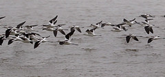 American Avocet (1krispy1) Tags: recurves avocet americanavocet texasbirds