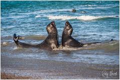 Greetings From Peninsula Valdes (RudyMareelPhotography) Tags: argentina estanciaricónchico patagonia peninsulavaldes elephantseals departamentodebiedma chubutprovince ar flickrclickx flickr ngc wanderlus natgeotravel nikon