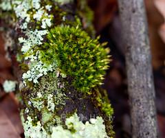 Lichen (Kathy@dornickdesigns) Tags: fungi ice kathyhardyphotography macrophotography myhandmadelife winter2019 lichen ouryard