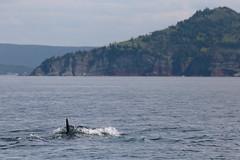 The Fin Whale Slips Below The Water (peterkelly) Tags: digital canon 6d northamerica canada newfoundlandlabrador finwhale whale fin water trinitybay diving shore shoreline coastline coast