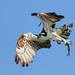 Osprey (Pandion haliaetus) carrying a prey / Águila Pescadora llevando una presa
