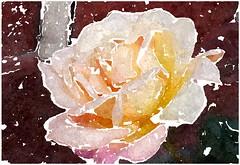 Lasst uns dem Heiland eigen sein (amras_de) Tags: rose rosen ruža rosa ruže rozo roos arrosa ruusut rós rózsa rože rozes rozen roser róza trandafir vrtnica rossläktet gül blüte blume flor cvijet kvet blomst flower floro õis lore kukka fleur bláth virág blóm fiore flos žiedas zieds bloem blome kwiat floare ciuri flouer cvet blomma çiçek zeichnung dibuix kresba tegning drawing desegnajo dibujo piirustus dessin crtež rajz teikning disegno adumbratio zimejums tekening tegnekunst rysunek desenho desen risba teckning çizim