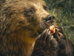 Close to a bear (HeiJoWa) Tags: fz1000 panasonic lumix bear bär wild animal tier paw pfoten krallen claws closeup portrait nachaufnahme natur nature herrnergal