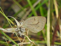 Barred Yellow Butterfly (Arthur Windsor - Florida Wildlife) Tags: butterfly westjupiterwetlandstrail joneshungrylandwildlifearea barredyellowbutterfly barredyellow