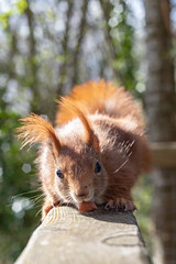 The Red Squirrel (lee dawe photography) Tags: animal forest looking rodent squirrel beauty brown curious cute fluffy funny fur green hair little mammal nature noperson one outdoors park portrait red sit small tail tree wild wildlife wood
