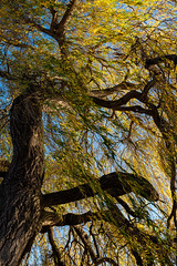 * Weeping Willow (velodenz) Tags: velodenz fujifilmx100f saltford banes bnes unitedkingdom uk greatbritain gb meadlane weepingwillow tree riveravon views flickr phot photo photograph photography digital image pic picture interesting twenty 20 top20 toptwenty top 2000 2000views