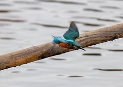 Kingfisher at Sprotbrough Flash (marklewis35) Tags: kingfisher kingfishers ywt sprotbrough bird birds wildlife flight