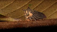 Treehopper (Membracidae) (John Horstman (itchydogimages, SINOBUG)) Tags: insect macro china yunnan itchydogimages sinobug entomology canon bug hopper treehopper cowbug hemiptera membracidae fb tumblr
