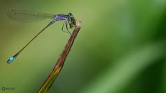 Blue-tailed Damselfly - Ischnura elegans (Visual Stripes) Tags: damselfly odonata insect invertebrate nature sigma105mm macro panasoniclumixg1 microfourthirds mft m43 bokeh