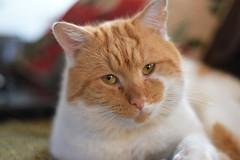 Jeff (dannyd63) Tags: ginger cat shallow depth field nikon d750