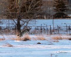 IMG_0145 (Scott Martin - Photographer) Tags: animals inglewoodbirdsanctuary calgary alberta canada coyote
