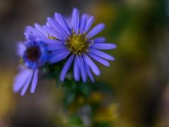 Autumn Stars (BeMo52) Tags: aster asteraceae blue blume bokeh flora flower macro makro natur nature pentacon50mmf18