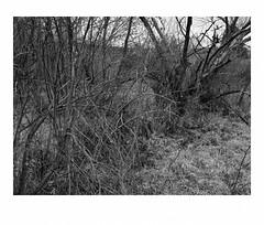 Wild cucumbers in wetlands (Richard C. Johnson: AKA fishwrapcomix) Tags: panasoniclumixg9 20mmf17 blackandwhite bw monochrome landscape wildcucumbers outdoor landunloved trees grandavenue thelandunloved landuntended rivervalley saintlouisriver decay hwy23 grass duluth minnesota icamesofarforbeauty sictransitgloriamundi
