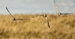 SEO (Yvonne Alderson) Tags: seo short eared owl coastal grassland hunting bird autumn november teesside