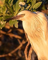 Morph Reddish Egret at Sunset (dbadair) Tags: outdoor seaside shore sea morph nature wildlife 7dm2 ocean canon florida bird