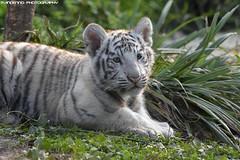 Bengal white tiger cub - Mondo Verde (Mandenno photography) Tags: animal animals dieren dierenpark dierentuin nederland mondo verde tijger tiger tigercub whitetiger ngc big cat