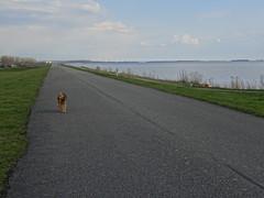 2018-0092 (schuttermajoor) Tags: airedaleterrier gooimeer hond nederland che 2018 pionierspad