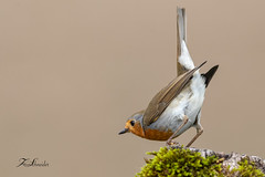 Rougegorge familier (sfrancois73) Tags: oiseau faune affût rougegorge drinkstation jardin
