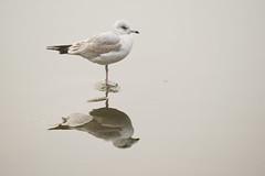 Common gull - Larus canus (Svein K. Bertheussen) Tags: gull måke larus gisketjern sandnes rogaland norway norge nature natur commongull laruscanus fiskemåke