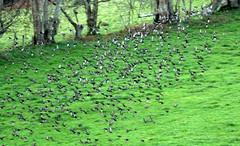Evening flock in Abertrinant (Sue Wolfe) Tags: wales cymru meirionnydd ceredigion westwales nature autumn welshwildlifebreaks welshcoast coast birds birdwatching sea seashore sunset abertrinant tywyn wildlife