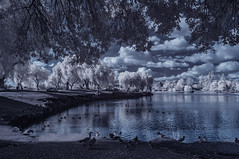 Water Fowl And December Clouds At Lindo Lakes (Bill Gracey 22 Million Views) Tags: december clouds lindolake lakeside ir infrared infraredphotography convertedinfraredcamera highcontrast nature naturephotography surreal polarizer reflections channelswapping otherworldly