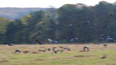 Murder (prajpix) Tags: autumn sun light nature farm inverness highlands scotland fields fence agriculture evening rural crows flock birds corvids rooks movement flight group collective