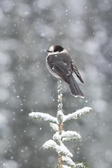 ''L'étoile'' Mésangeai du canada-Gray jay (pascaleforest) Tags: oiseau bird animal passion nikon nature wild wildlife faune neine snow québec canada tree sapin étoile star bokeh