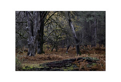 Autumn turns to Winter. (muddlemaker1967) Tags: hampshire landscape photography thenewforest national park autumn 2018 decay bracken moss fujifilm xt1 fujinon xf 1855mm f284 r lm ois nisi polariser