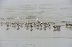 IMG_0017x (gzammarchi) Tags: italia paesaggio natura mare ravenna lidodidante animale uccello monocrome fratino gabbiano stormo
