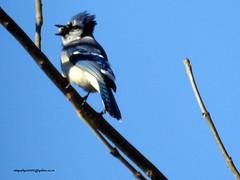 DSCN6306 Blue Jay (Cyanocitta cristata) (vlupadya) Tags: greatnature bird animal aves fauna blue jay cyanocitta baskingridge newjersey usa