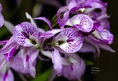 Orchid Purple. (rumerbob) Tags: orchidpurple orchid flower floral flowergarden fauna macro macroflower macrophotography nature naturewatcher naturephotography longwoodgardens canon7dmarkii canon100mmmacrolens