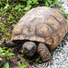 A gopher tortoise searches for food at the edge of a road near Launch Pad 39A. Original from NASA . Digitally enhanced by rawpixel.