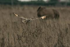 Short Eared Owl-2662 (WendyCoops224) Tags: 100400mml 80d fens winterwatch canon eos ©wendycooper short eared owl asio flammeus