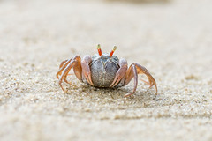 little cute round crab on sand (elmanther123) Tags: animal claws nature shellfish shell tropic tropical beach biology ecology food marine life alive aquatic sealife creature raw sandy seafood seashore den isolated one mangrove mudflat nipper pincer sludge natural seascape sunlight scenic defend shore bay aggresive hermit attact closeup fresh limbs fiddler outdoor