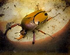 Beetle (judy dean) Tags: 2018 iphone judydean stratforduponavon butterflyfarm beetle velvet56 2019 lensbaby 365the2019edition 3652019 day2365 02jan19