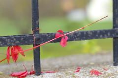 Hang on (Baubec Izzet) Tags: baubecizzet pentax bokeh nature leaves autumn