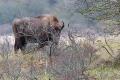 europäischer Bison des Wisentproject Kraansvlak steht hinter Büschen und wird davon leicht verdeckt