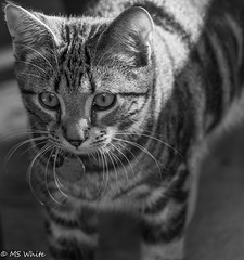 Outside time  - It's a jungle out there! (SpyderMarley) Tags: marley tabby cat kitten outdoors curiousity blackandwhite
