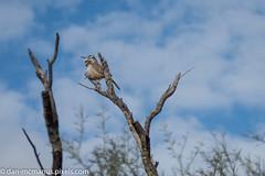 Cactus Wren (Kukui Photography) Tags: bird arizona arizon sonora desert museum cactus wren tucson arizonsonoradesertmuseum cactuswren