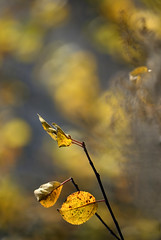 Autumn leaves (ElaR.) Tags: nature naturefantasy naturecomposition naturecolours tree twig leaves autumn autumncolours autumnleaves yellow yellowleaves forest forestplants sunnyday bokeh bokehcolours nikon outdoor outside