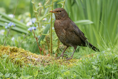 Blackbird-2 (Geoff Brightmore) Tags: femaleblackbird 2018 birds blackbird female horncastle may nature wildlife
