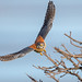 American Kestrel (X91_5151-1) (Eric SF) Tags: americankestrel kestrel raptor coyotehillsregionalpark fremont ca