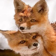 @everythingfox September 15 2018 at 07:49PM (hellfireassault) Tags: foxes everythingfox september 15 2018 0749pm fantasticfoxes november 0448am