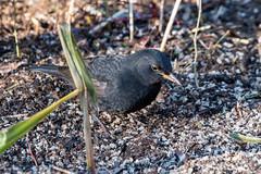 Blackbird (Ian R T) Tags: blackbird gardenbird inverurie aberdeenshire
