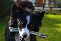 I Found this Humerus (ASHA THE BORDER COLLiE) Tags: funny dog picture halloween humerus bone ashathestarofcountydown connie kells county down photography