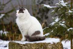 Stefanel (Raoul Pop) Tags: cat garden home snow stefanel winter